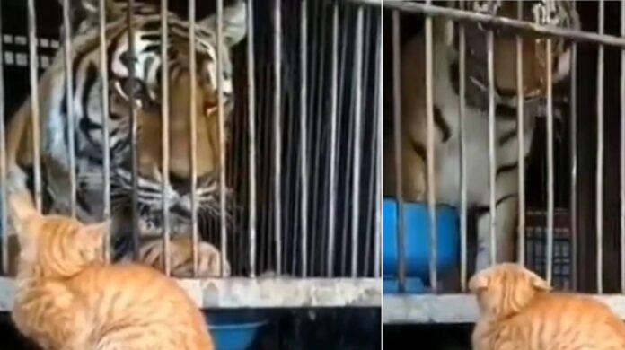 cat scares Tiger