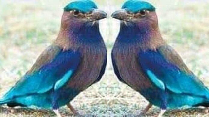 Neelkanth bird